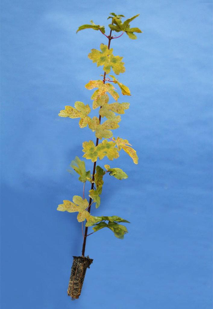 Field Maple Tree Size 40 60cm